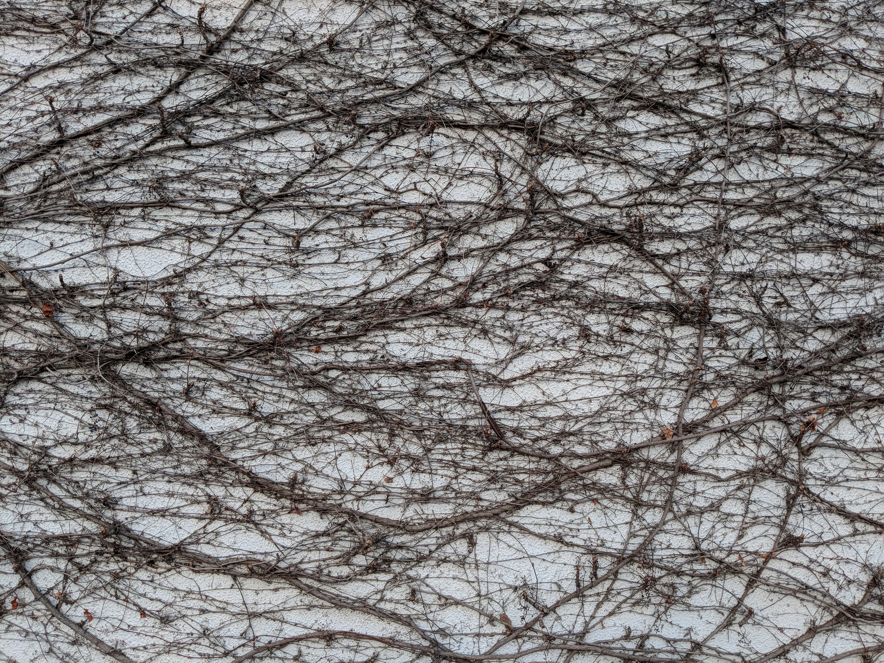Bare, brown vines cover a white wall in a dense webbing.